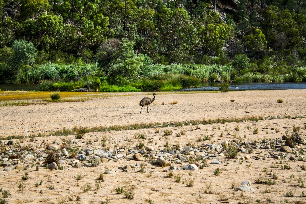 Emu along Snowy River