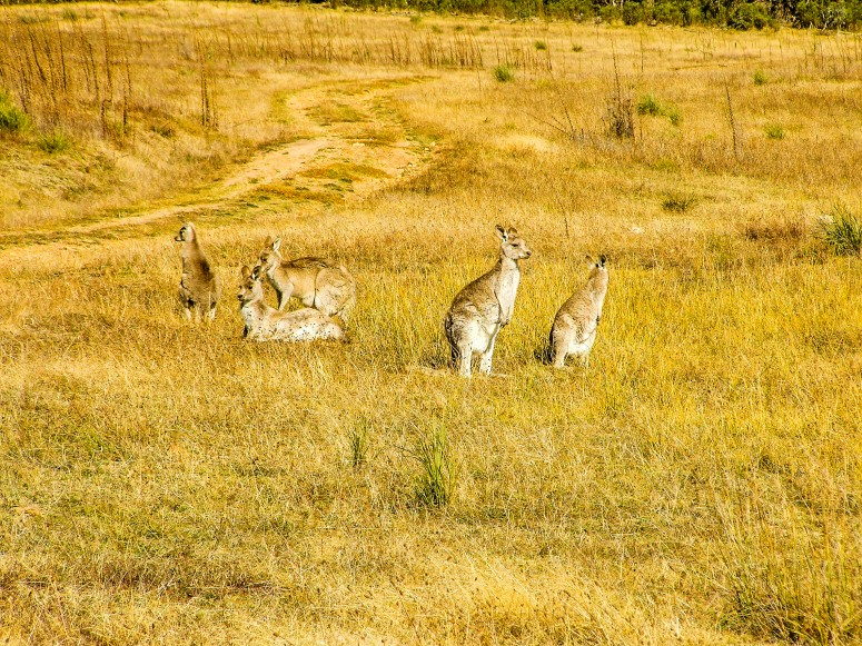 Kangaroos grazing near Orroral Valley Homestead