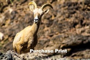 Long Horn Sheep