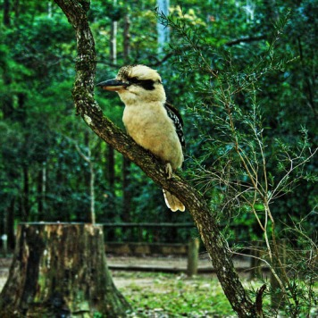 another campsite visitor at Booloumba