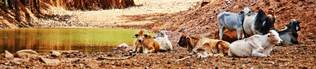 Cows resting beside the Savannah Way
