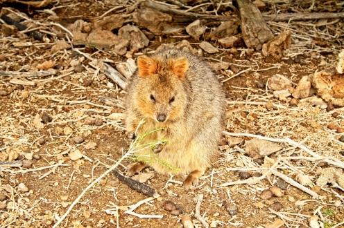 The inquisitive Quobba call Rottnest home