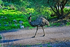 """""""Locals"""" doing the rounds at Mambray Creek camping area"""