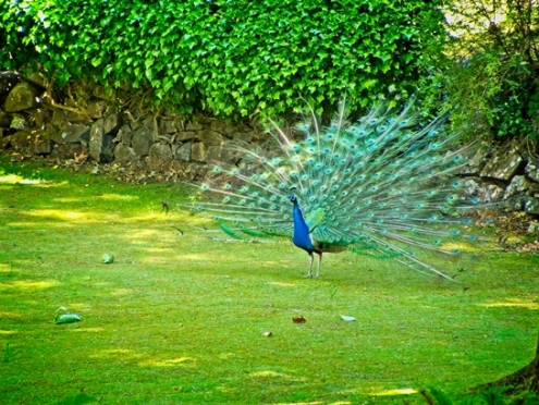 A peacock flaunting its beauty at Cataract Gorge