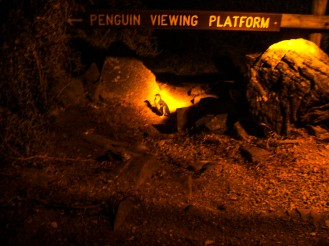 The evening Penguin tour at Low Head is a must